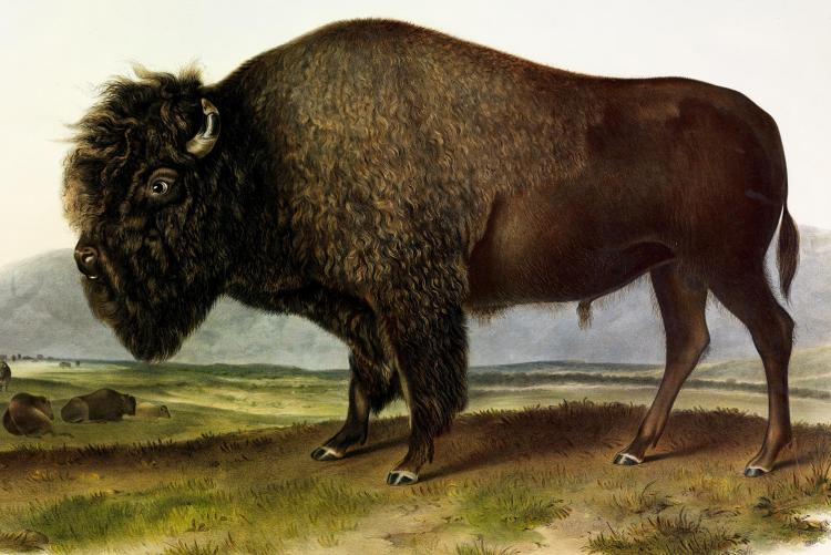 Bison by Audubon